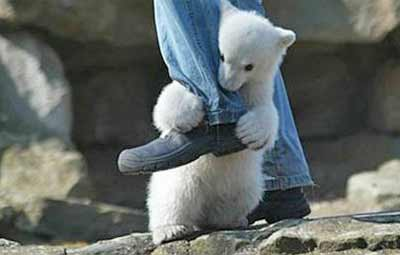 baby polar bear attack!