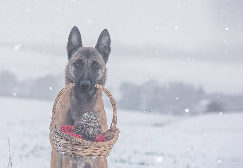 Brandt is a professional photographer, and has years of experience doing photo shoots with various animals. Ingo, the shepherd, is one of her most loyal and popular models.